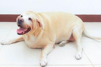 Sana alimentación de mascotas durante cuarentena para evitar sobrepeso